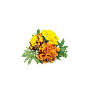 Click & Grow 3 Pack French Marigold Plant Pods
